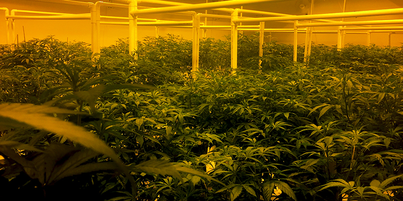 Cannabis growing facility