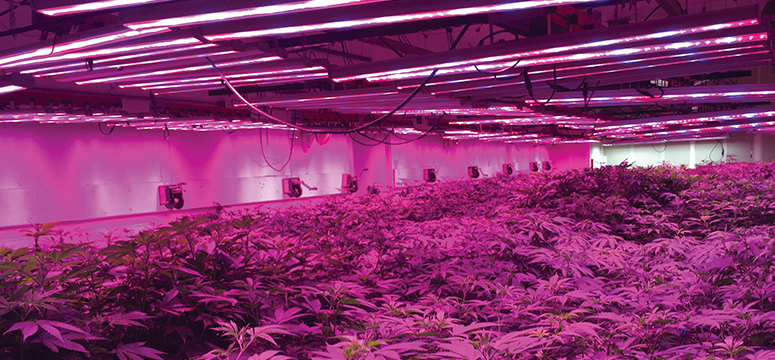 Marijuana plants in a grow facility in Denver, Colorado bathed in purple light.  Light in the purple spectrum contains the most energy and helps stimulate growth.