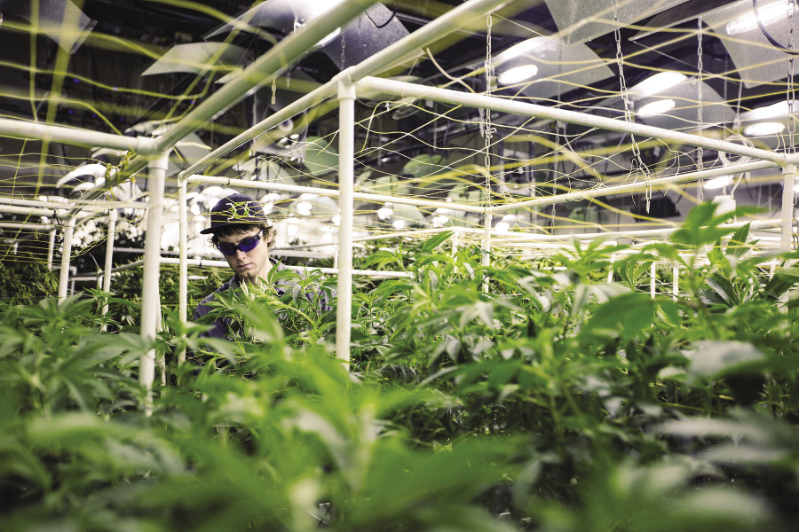 Dude with dark glasses walks through an indoor growing facility surrounded by marijuana plants